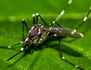 Asian Tiger Mosquito Columbia SC