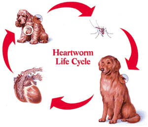 heartworm-life-cycle in dogs