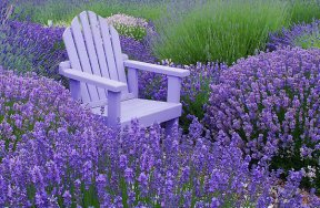 Lavender as a deer deterrent