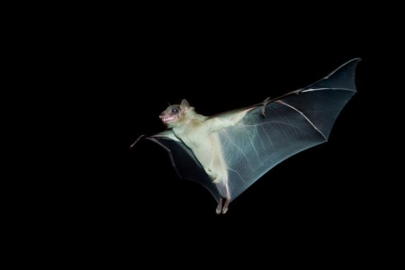 Bats can eat up to 1,000 mosquitoes per hour at night