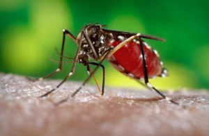 Blood filled female mosquito