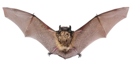 The little brown bat is a SC native