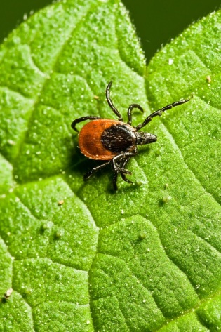 Deer tick or blacklegged tick on leaf waiting for you to pass by