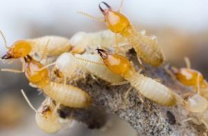 Termites in Columbia SC