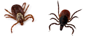 The tick to the left is a dog tick. To the right is a deer tick or black-legged tick