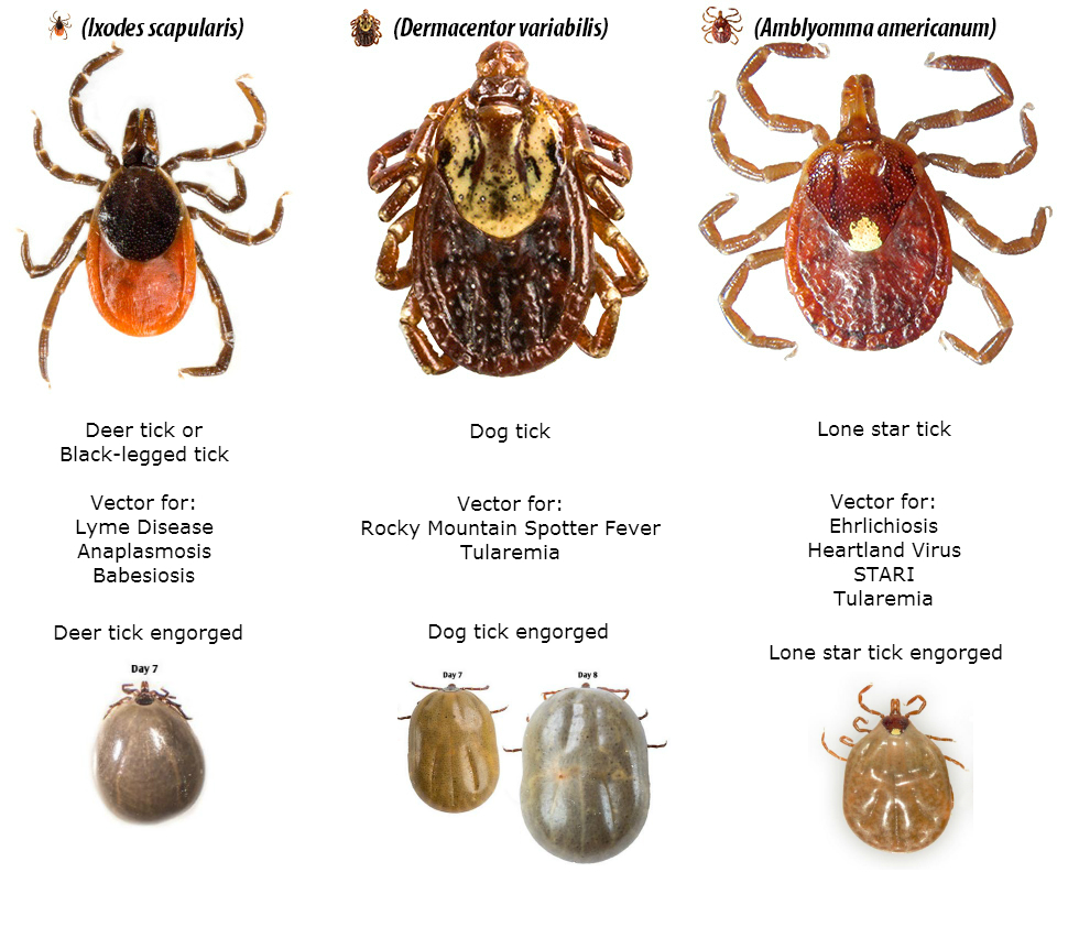kinds of ticks