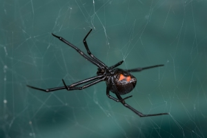Black Widow spider in Columbia SC