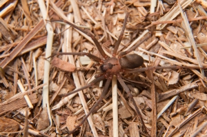 Brown Recluse spider in Columbia SC