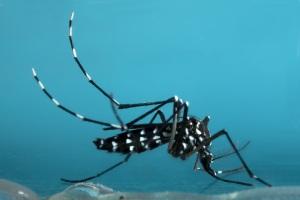 Asian Tiger Mosquito Columbia SC