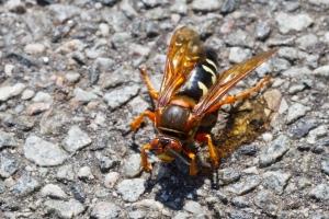 cicada killer wasp control Columbia SC